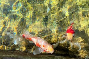 葛飾区金魚展示場)金魚5