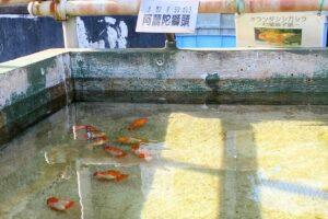 葛飾区金魚展示場)金魚7